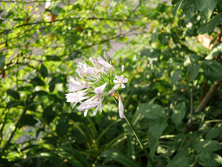 アガパンサス(ムラサキクンシラン)の花が咲いた。2020年-002.jpg