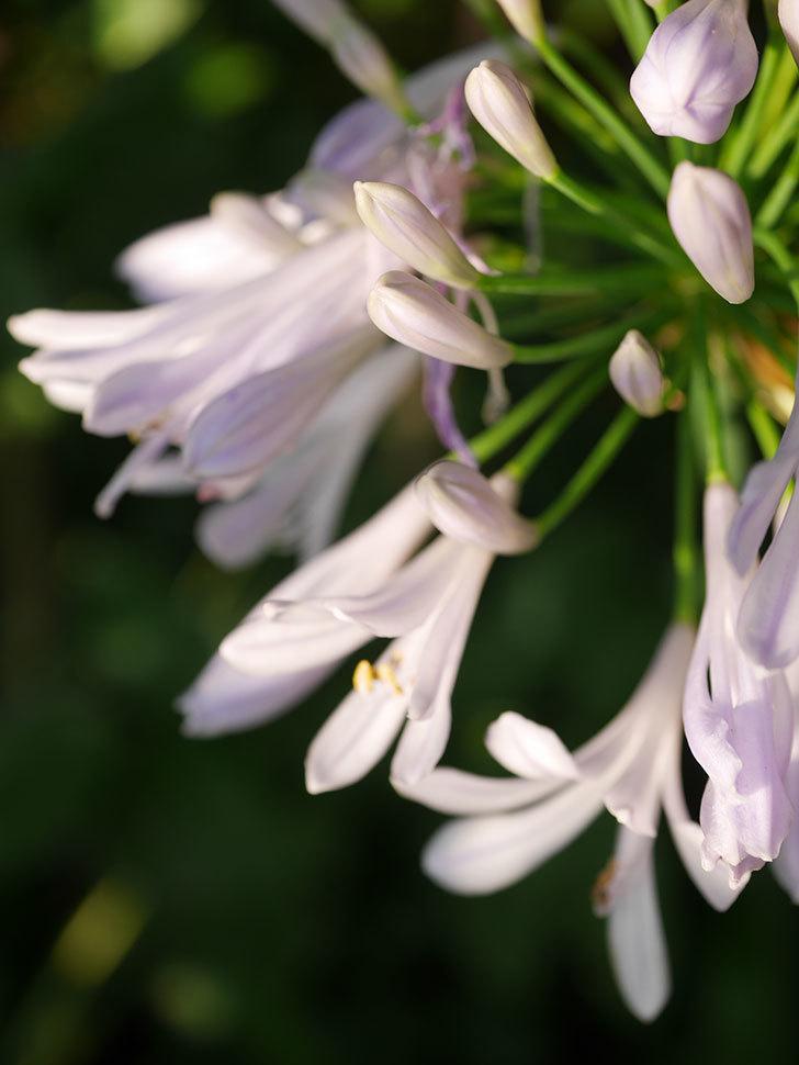 アガパンサス(ムラサキクンシラン)の花が咲いた。2020年-008.jpg