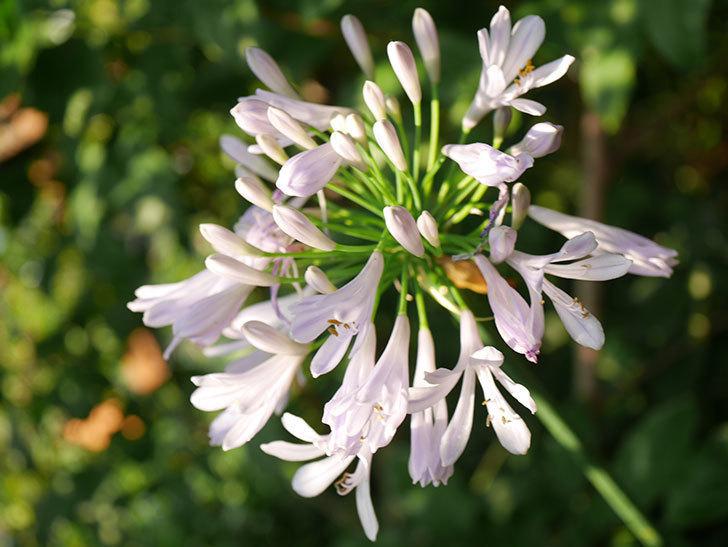 アガパンサス(ムラサキクンシラン)の花が咲いた。2020年-010.jpg