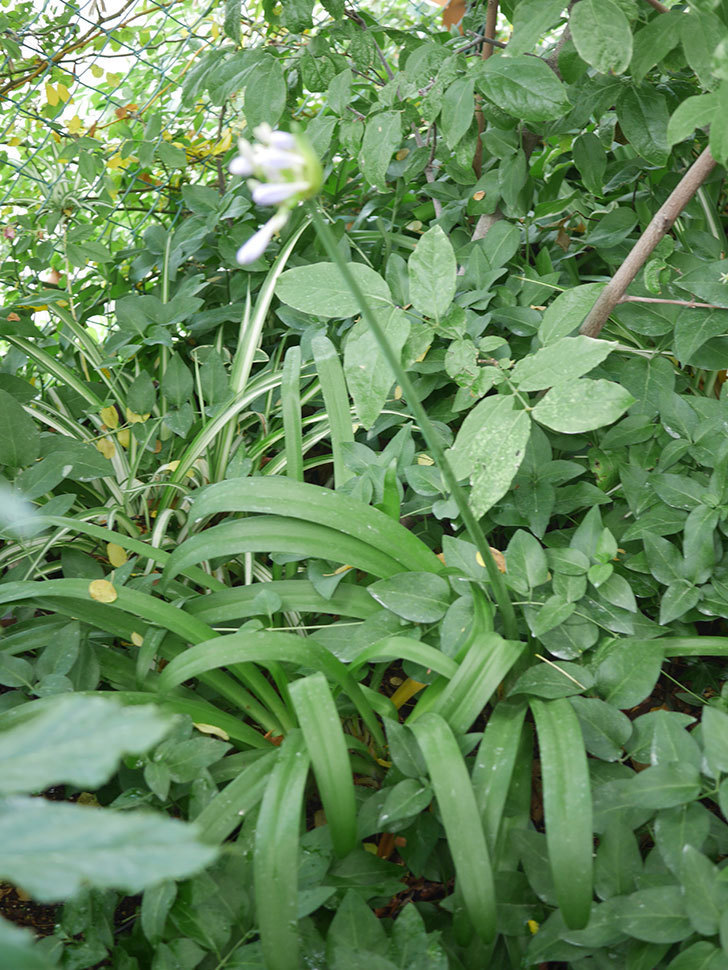 アガパンサス(ムラサキクンシラン)の花が少し咲いた。2020年-003.jpg
