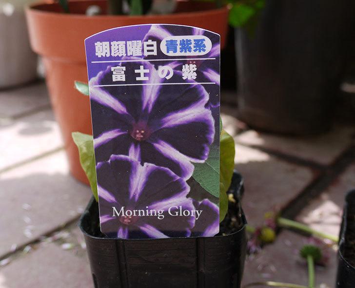 アサガオ-富士の紫の苗がケイヨーデーツーで30%offだったので3個買ってきた。2017年-2.jpg