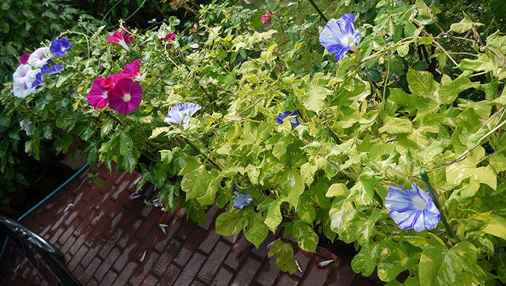 アサガオ-暁の光の花が綺麗に咲いた。2015年-6.jpg