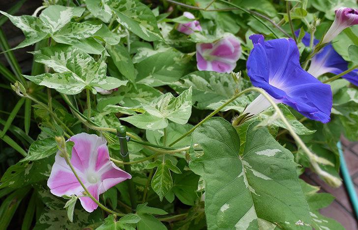 アサガオが沢山咲くようになってきた11.jpg