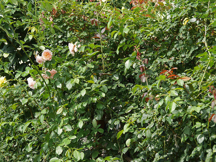 アサガオと鉢バラを中心に殺ダニ剤(ダニサラバフロアブル)を撒いた。2020-6-1.jpg