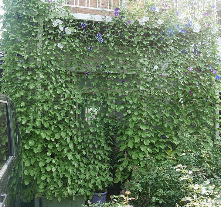 アサガオのグリーンカーテンがやっと茂ってきた。2019年-1.jpg