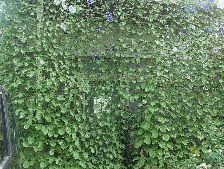 アサガオのグリーンカーテンがやっと茂ってきた。2019年-3.jpg