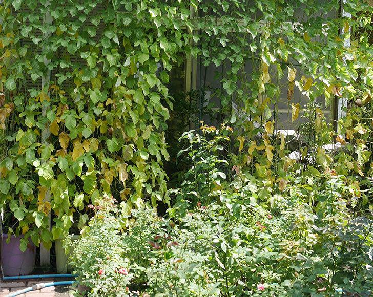 アサガオのグリーンカーテンの下の方が枯れてきた。2018年-3.jpg