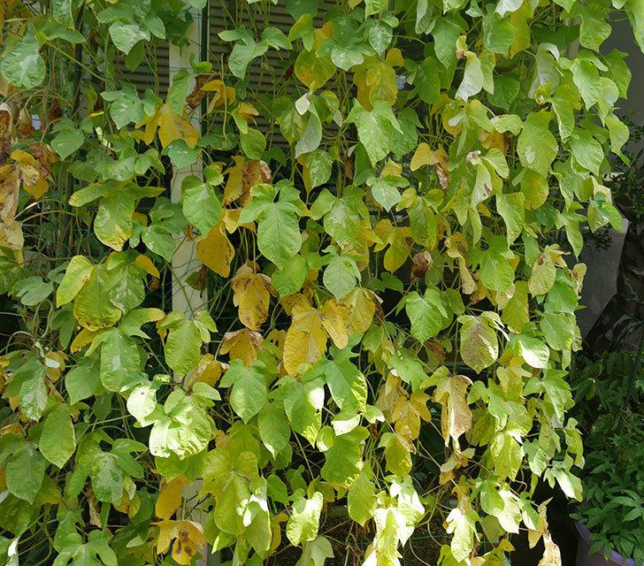 アサガオのグリーンカーテンの下の方が枯れてきた。2018年-4.jpg