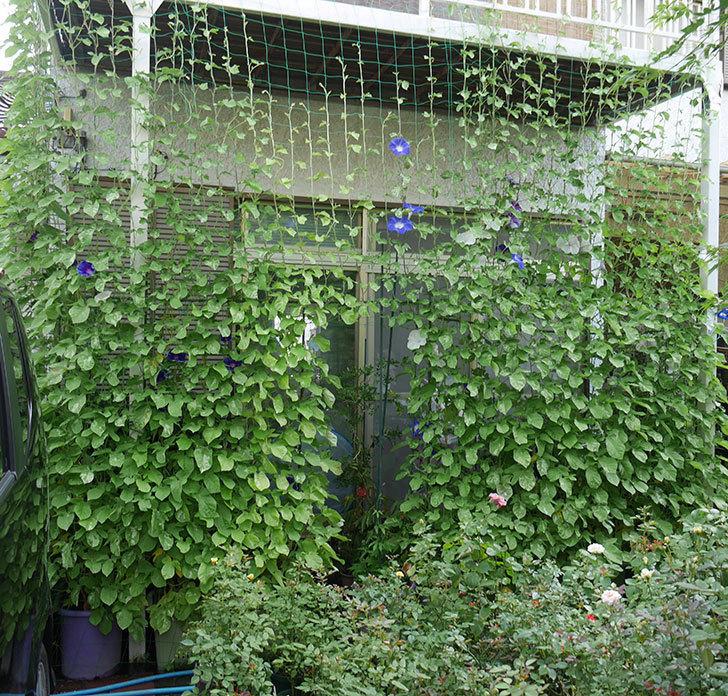 アサガオのグリーンカーテンの下の方が枯れてきた。2018年-5.jpg