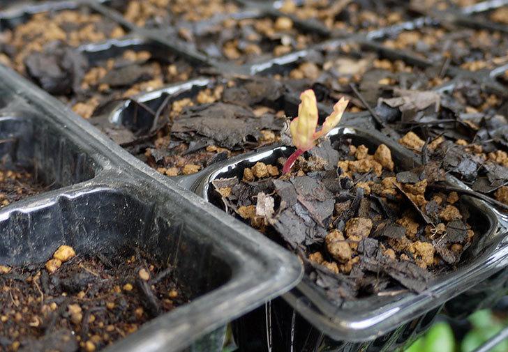 アサガオの種から芽がで出てきた。2016年-1.jpg