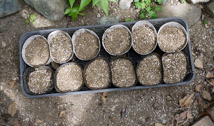 アサガオの種を蒔いた。2017年-4.jpg