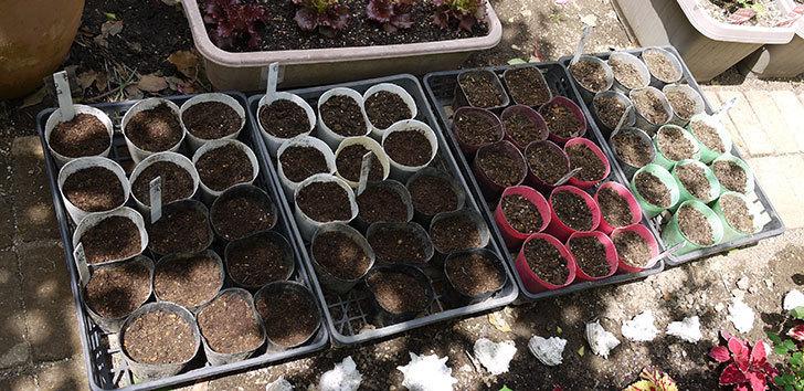 アサガオの種を蒔いた。2018年-3.jpg