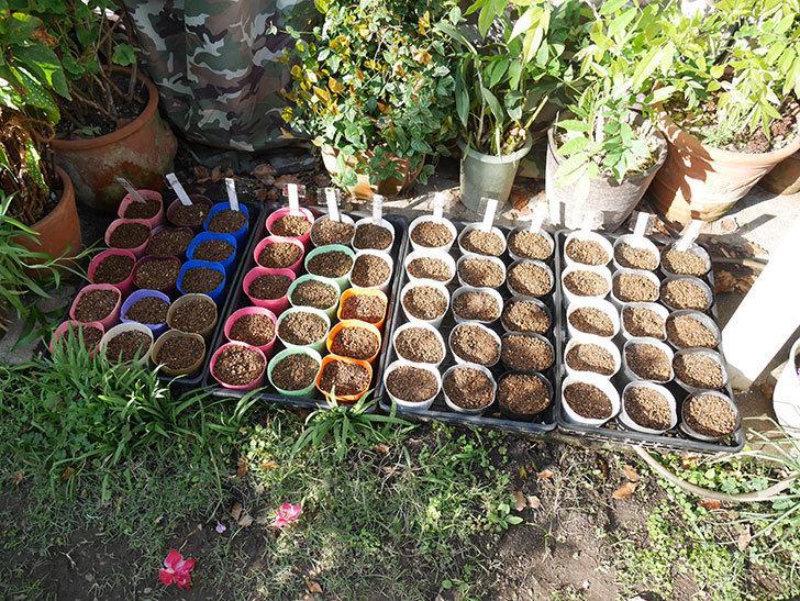 アサガオの種を蒔いた。2019年-5.jpg