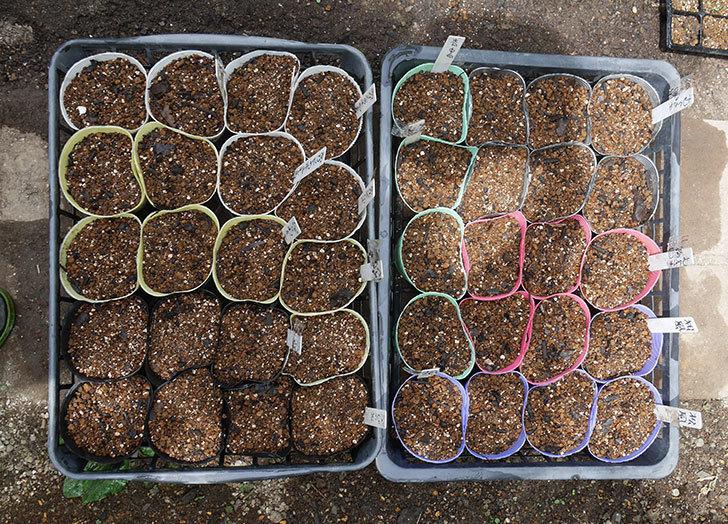 アサガオの種を蒔いた。2020年-1.jpg