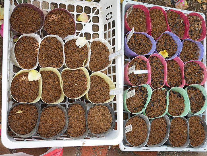 アサガオの種を蒔いた。2021年-001.jpg