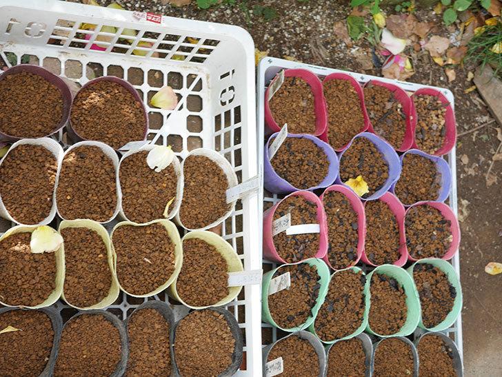 アサガオの種を蒔いた。2021年-002.jpg