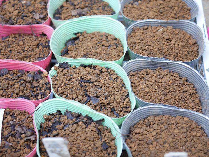 アサガオの種を蒔いた。2021年-004.jpg