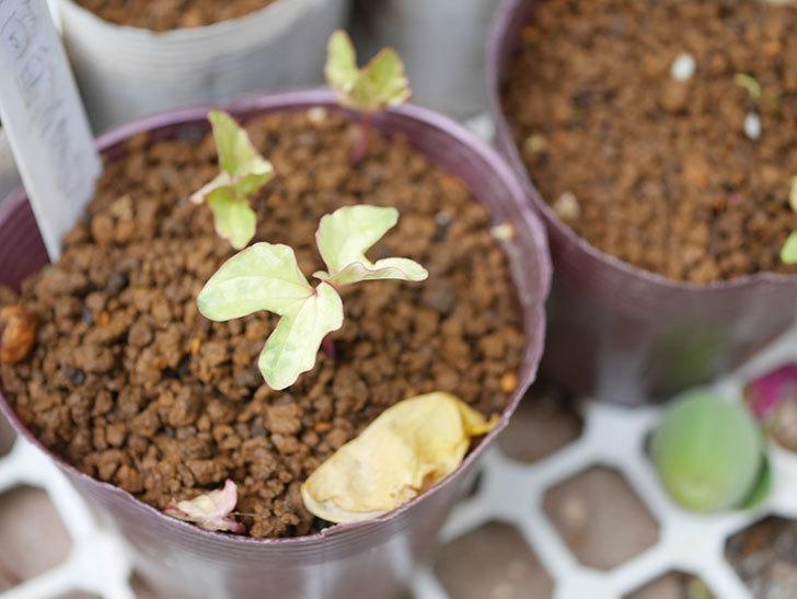 アサガオの芽が出た。2021年-003.jpg
