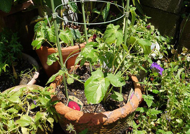 アサガオの苗を鉢に植えた1.jpg