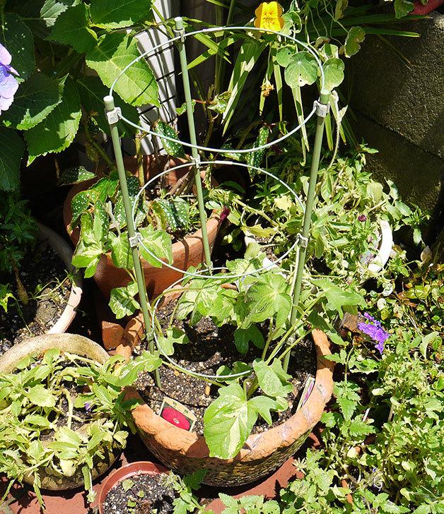アサガオの苗を鉢に植えた2.jpg
