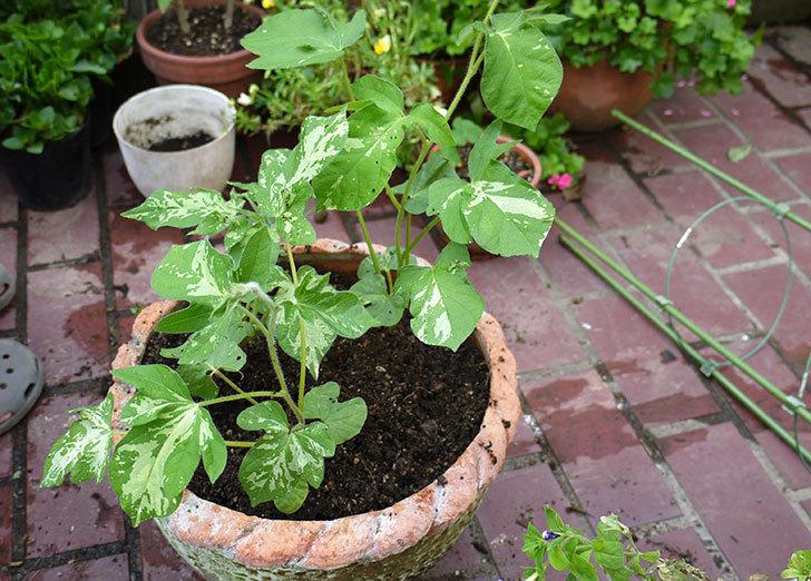 アサガオの苗を鉢に植えた3.jpg