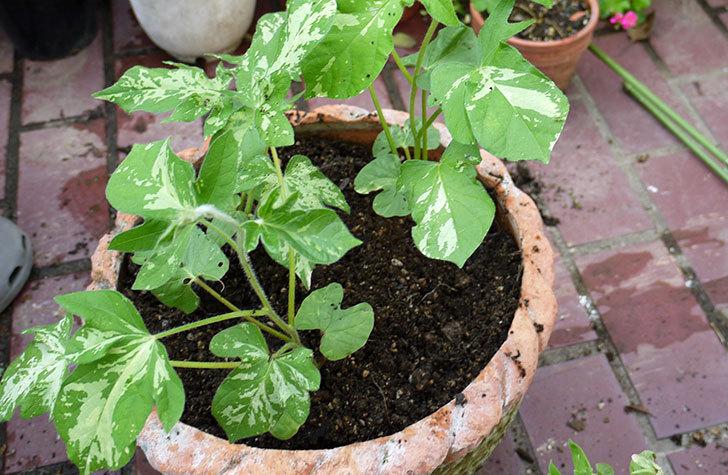 アサガオの苗を鉢に植えた4.jpg