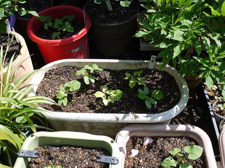 アサガオをプランターに植えた。2017年-5.jpg