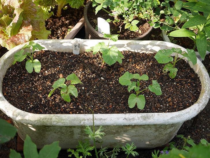 アサガオをプランターに植えた。2018年-8.jpg