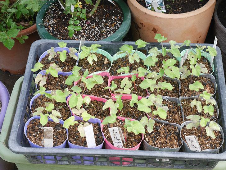 アサガオをプランターに植えた。2020年-002.jpg