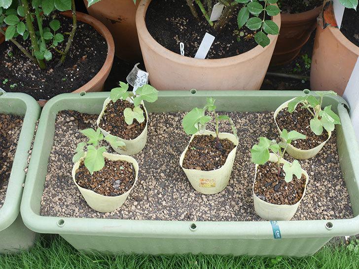 アサガオをプランターに植えた。2020年-003.jpg