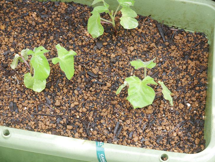 アサガオをプランターに植えた。2020年-011.jpg