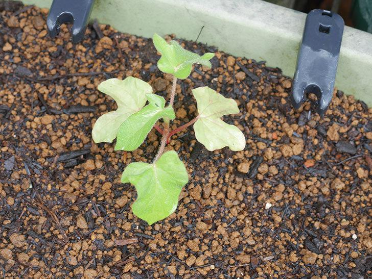 アサガオをプランターに植えた。2020年-021.jpg