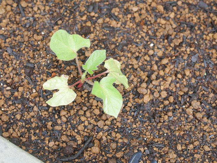 アサガオをプランターに植えた。2020年-022.jpg