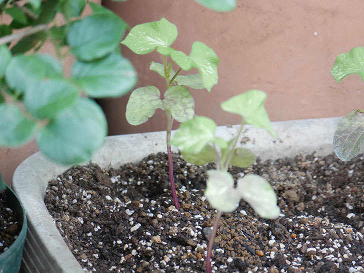 アサガオをプランターに植えた。2021年-008.jpg