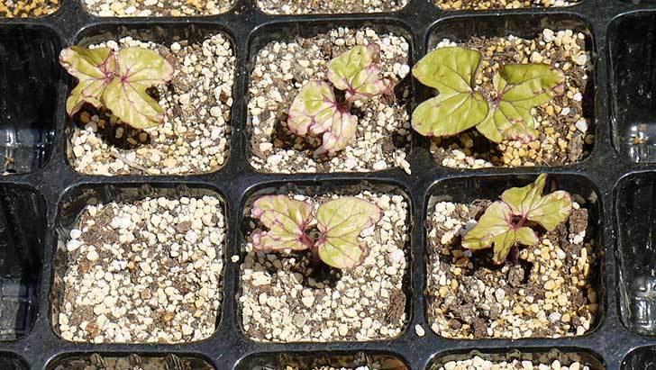 アサガオ(松風)の種から芽が出てきた2.jpg
