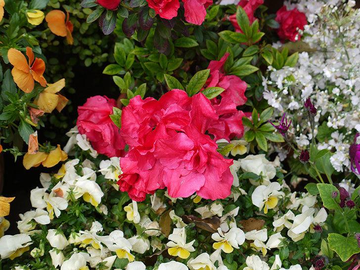 アザレアがたくさん咲いた。2017年-2.jpg