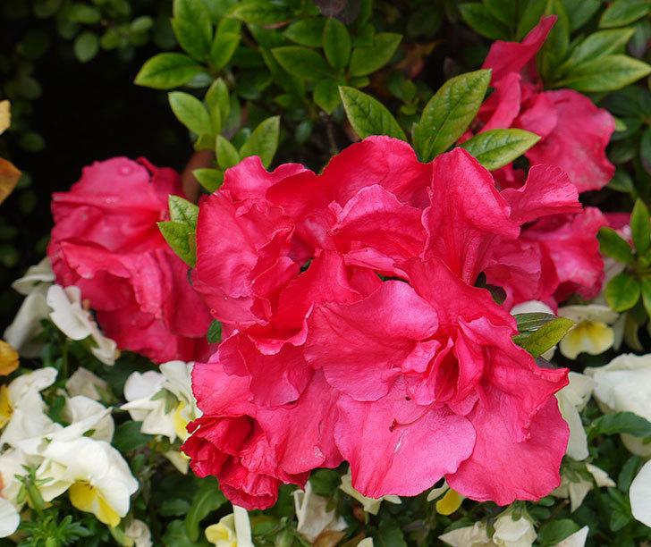 アザレアがたくさん咲いた。2017年-3.jpg