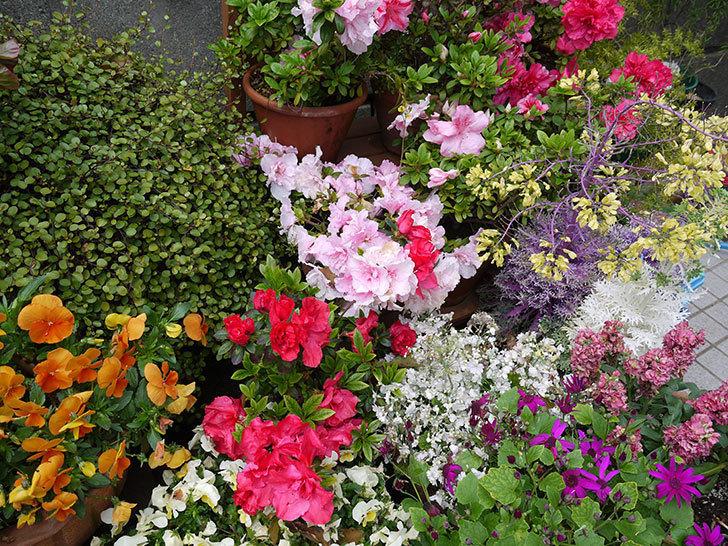 アザレアがたくさん咲いた。2017年-4.jpg
