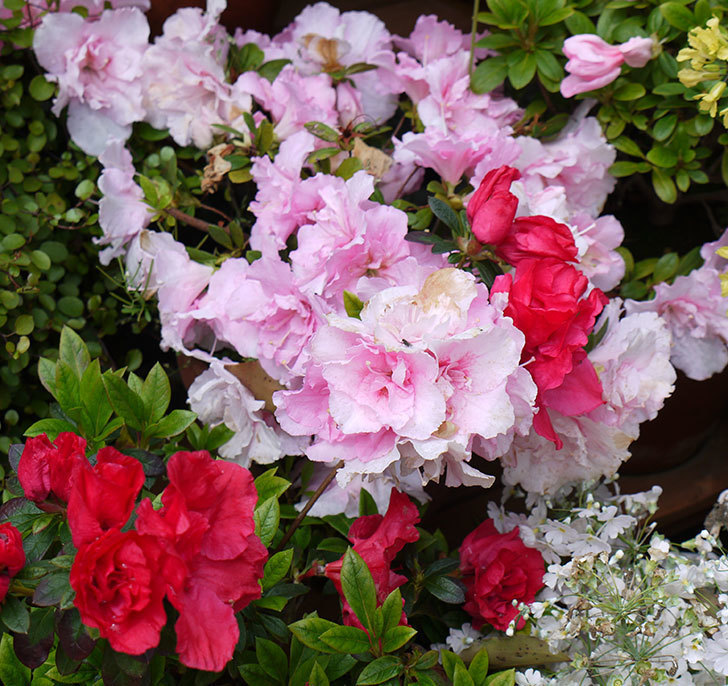 アザレアがたくさん咲いた。2017年-5.jpg