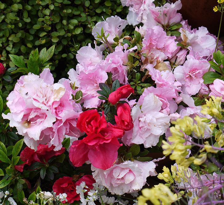 アザレアがたくさん咲いた。2017年-7.jpg