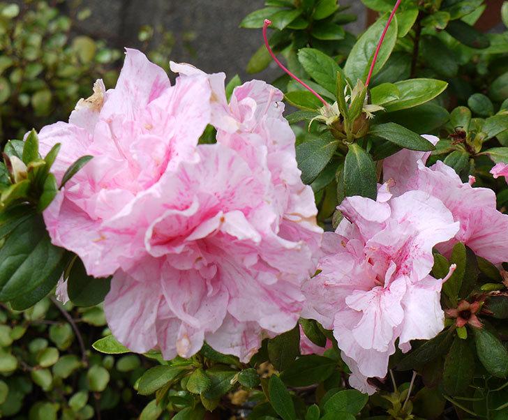 アザレアがたくさん咲いた。2017年-8.jpg