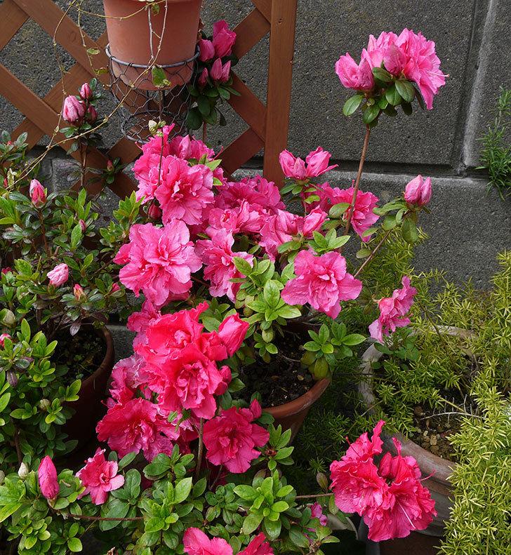 アザレアがたくさん咲いた。2017年-9.jpg