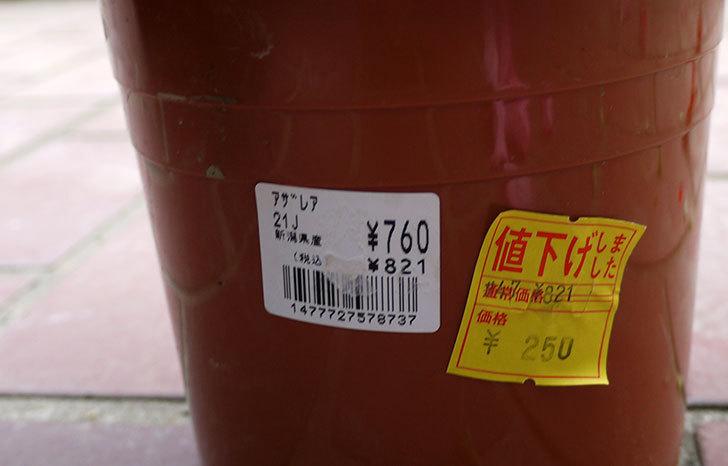 アザレアがホームズで250円だったので買って来た3.jpg