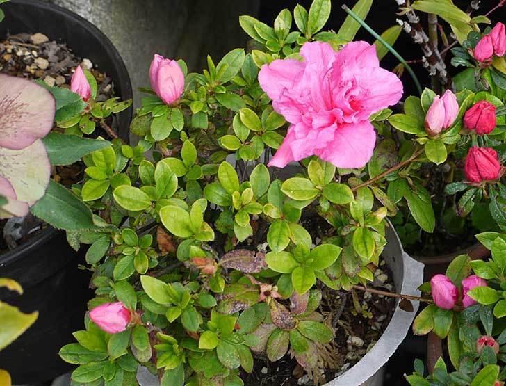 アザレアが咲いた。2015年-5.jpg