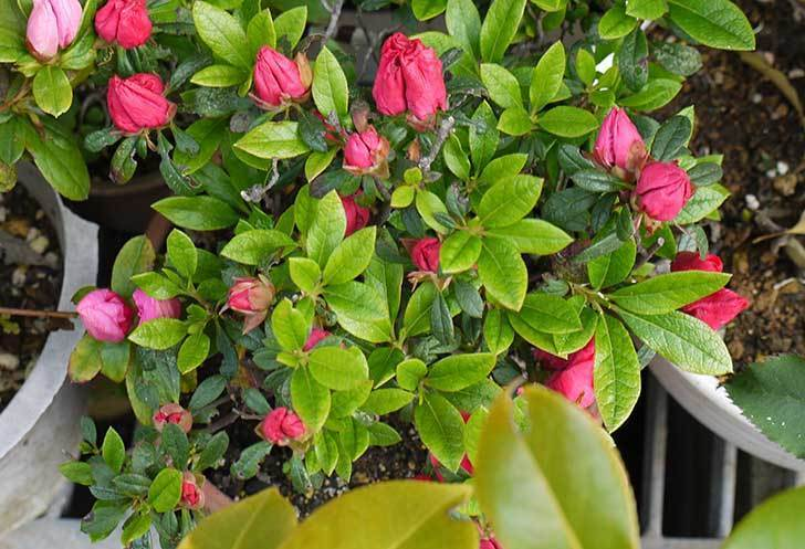 アザレアが咲いた。2015年-6.jpg