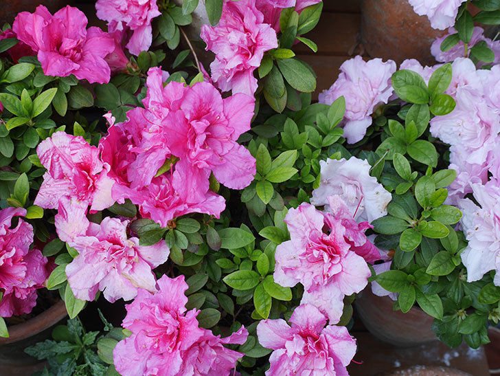 アザレアが咲いた。2019年-3.jpg