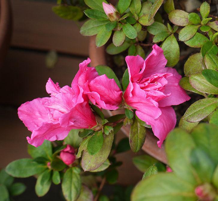 アザレアが咲きだした。2017年-1.jpg