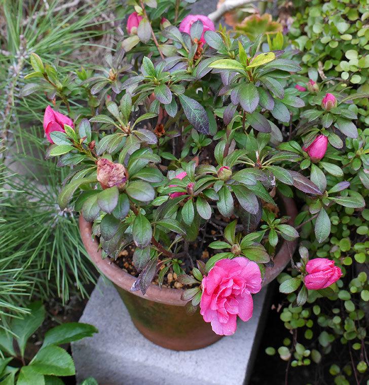 アザレアが咲きだした。2018年-11.jpg