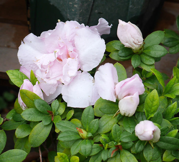 アザレアが咲きだした。2018年-4.jpg