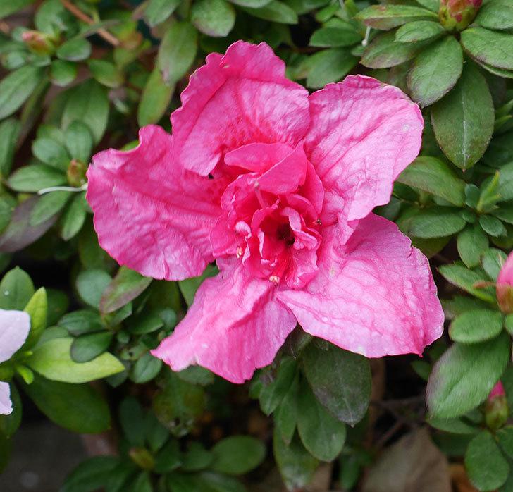 アザレアが咲きだした。2018年-6.jpg